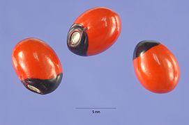 Abrus precatorius seeds.jpg