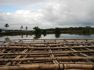 Abucay, Bataan - Bamboos for mussel culture