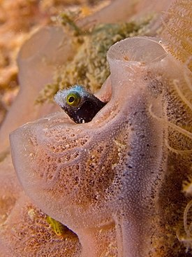 Acanthemblemaria spinosa (Spiny Headed Blenny).jpg