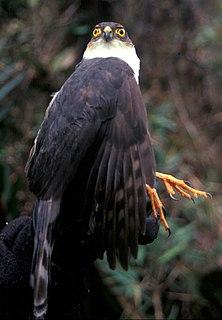 Plain-breasted hawk species of bird of prey