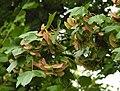 Acer campestre RF.jpg