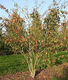 Red snakeskin maple, habitus