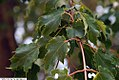 Acer rubrum 22zz.jpg