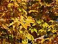 Acer saccharum, Royce Valley, NJ 3.jpg