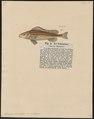 Acerina schraetzer - - Print - Iconographia Zoologica - Special Collections University of Amsterdam - UBA01 IZ12900100.tif
