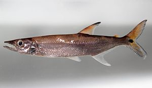 Acestrorhynchus microlepis