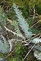 Achilea sp. Asteraceae 01.jpg