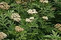 Achillea macrophylla - Botanischer Garten Mainz IMG 5618.JPG
