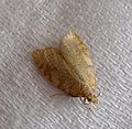 Acleris notana - Flickr - gailhampshire (1).jpg