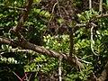Acnistus arborescens (17089566258).jpg