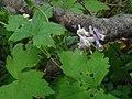 Aconitum alboviolaceum 92776915.jpg
