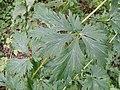 Aconitum variegatum subsp. variegatum sl5.jpg