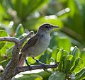Acrocephalus familiaris -Laysan, Northwestern Hawaiian Islands, USA-8 (3) (cropped).jpg