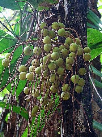 Acrocomia - Acrocomia aculeata immature fruits.