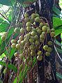 Acrocomia aculeata, immature Grugu Nuts. (11164009576).jpg