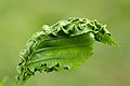 Aculops macrotrichus gall on Carpinus betulus (31778369912).jpg