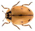 Adalia conglomerata (Linnaeus, 1758).png