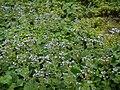 Adelocaryum malabaricum (C.B.Clarke) Brand (6025853205).jpg