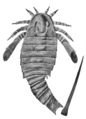 Adelophthalmus fossil.png