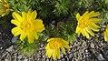 Adonis vernalis L. (Ranunculaceae)-3F.jpg