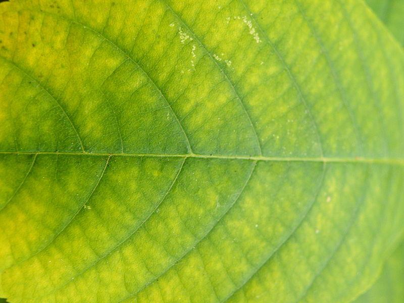 File:Aesculus parviflora (6).JPG