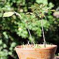 Aesculus parviflora 06.jpg