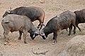 African Buffaloes (Syncerus caffer) bulls ... (32364215235).jpg