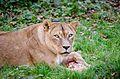 African Lion (22625661563).jpg