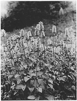 Agastache Occidentalis, Bohemia Area, Umpqua, Oregon, 1920 - NARA - 299125.jpg