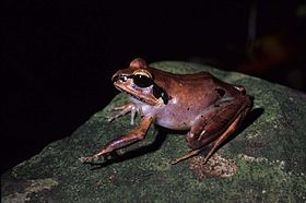 Aglyptodactylus securifer.jpg