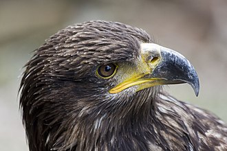 "Kintzheim - A team member at the Kintzheim Eagle flying centre (""la volerie des aigles"")"
