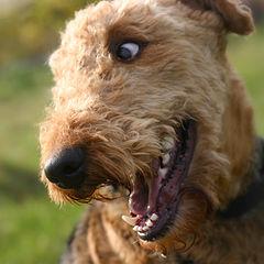 Al Airedale Terrier también se le conoce como el Rey de los terrier