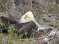 Albatross birds - Espanola - Hood - Galapagos Islands - Ecuador (4871005327).jpg