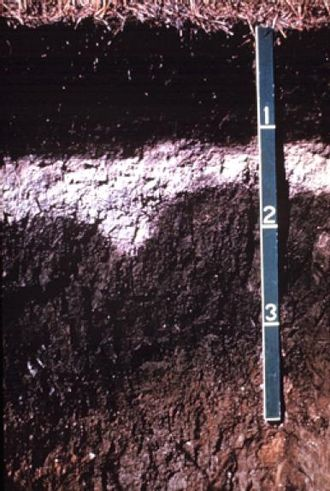 Soil horizon - Albic Luvisol – dark surface horizon on a bleached subsurface horizon (an albic horizon) that tongues into a clay illuviation (Bt) horizon
