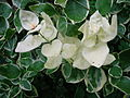 Albinism of Vinca major leaves.JPG