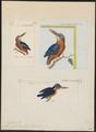 Alcedo galerita - 1700-1880 - Print - Iconographia Zoologica - Special Collections University of Amsterdam - UBA01 IZ16800213.tif