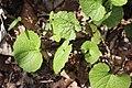 Alliaria petiolata 121499429.jpg