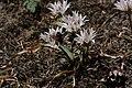 Allium crenulatum 5662.JPG