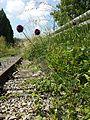Allium rotundum sl27.jpg