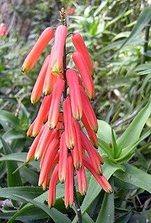 <i>Aloiampelos ciliaris</i> species of plant