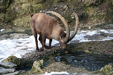 Alpensteinbock (Capra ibex) Zoo Salzburg 2014 f.jpg