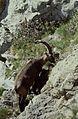 Alpes-Maritimes Saint-Martin-Vesubie Baisse Du Lac Autier Bouquetin - panoramio (5).jpg