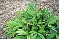 Alpinia speciosa 6zz.jpg