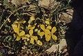 Alyssum saxatile. Low mountain growth, South of Ifrane (37724281662).jpg