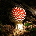 Amanita Muscaria (scaled).jpg
