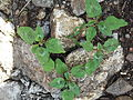 Amaranthus viridis-2-xavier cottage-yercaud-salem-India.JPG