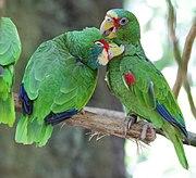 5 animaux qui ont une vie sexuelle beaucoup plus misérable que la vôtre… 180px-Amazona_albifrons_-_Tiergarten_Sch%C3%B6nbrunn_4