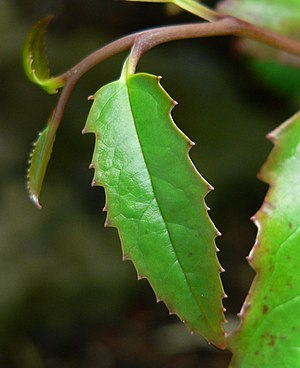Amborella - Image: Amborella trichopoda 5