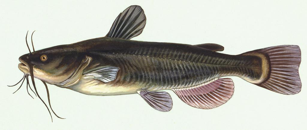 Sumček čierny (Ameiurus melas)
