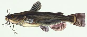 Catfish - Black bullhead